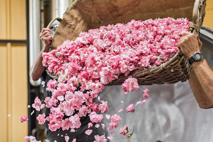 rose centifolia de grasse