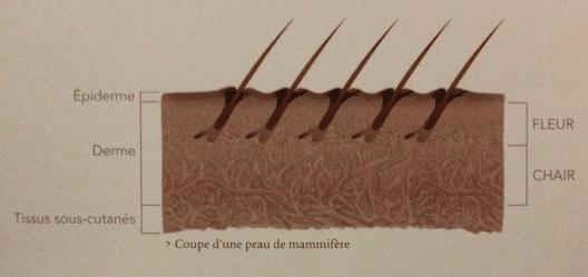 la composition de la peau pour le cuir