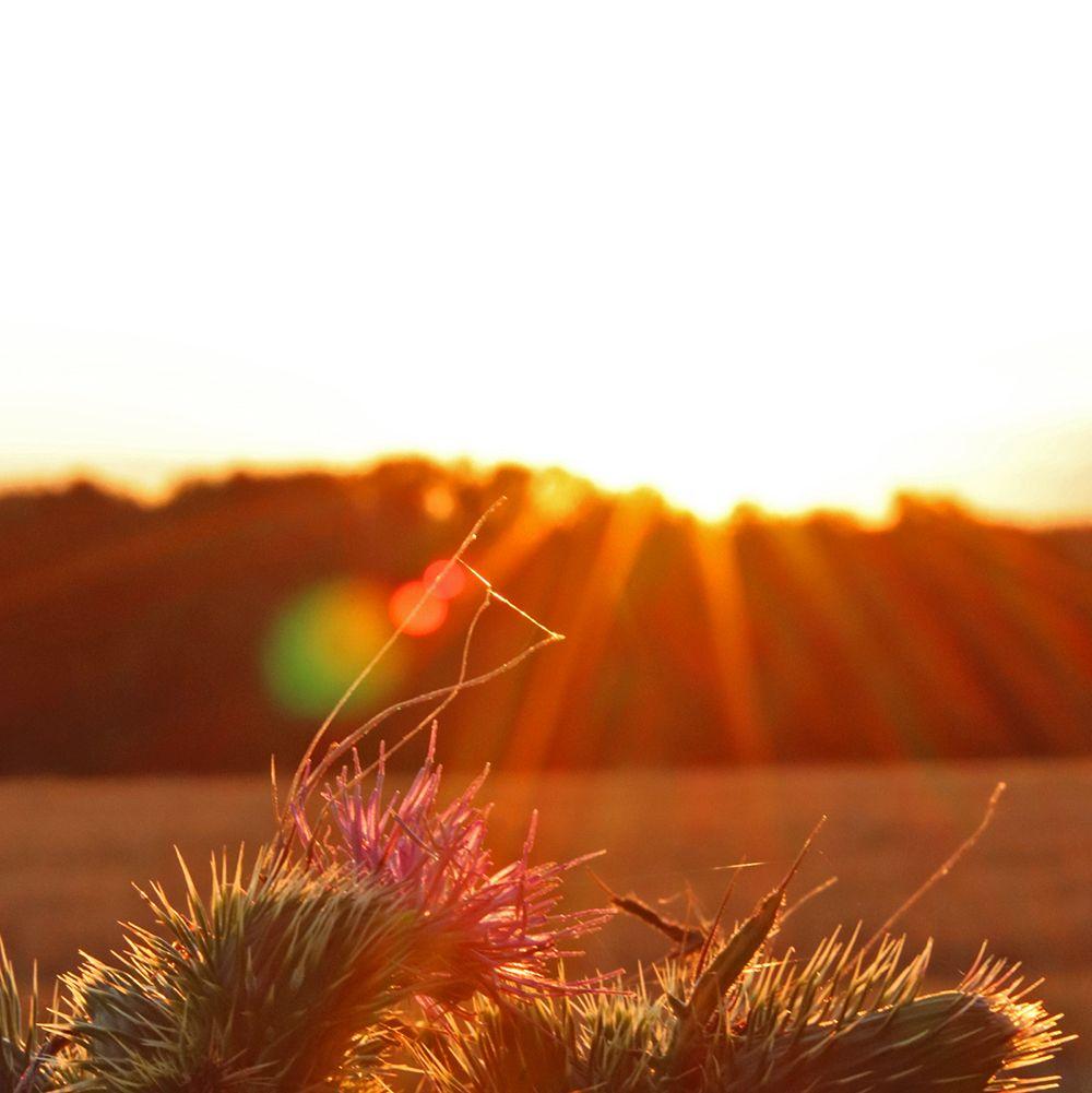 chardon lorrain et couche de soleil
