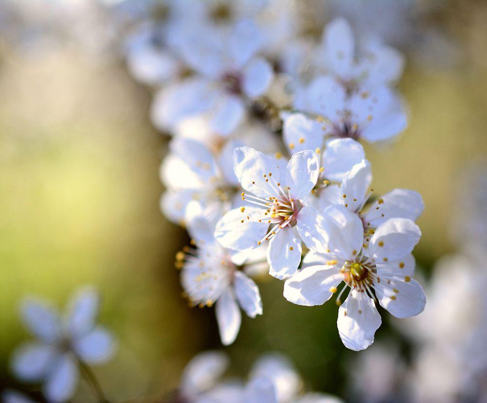 fleurs du mirabellier durant le mois d'avril