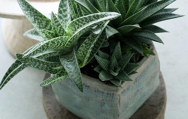 idée cadeau couple plante ale vera