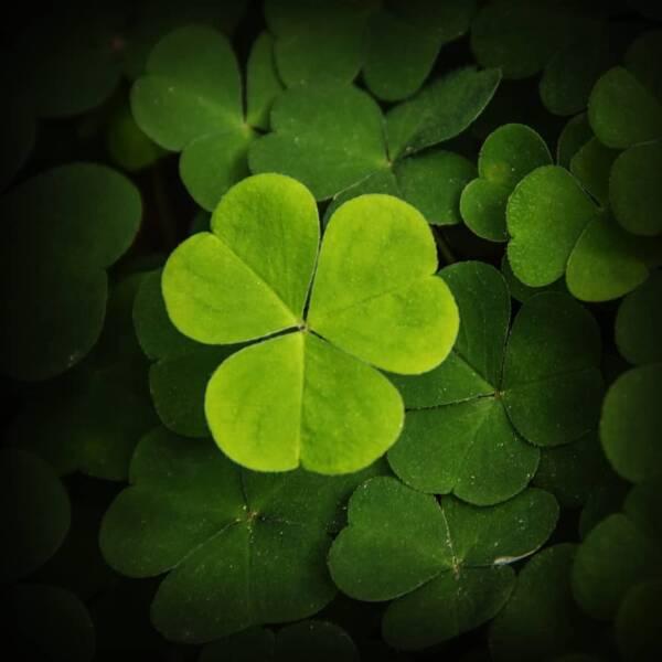 trefle-quatre-feuilles-porte-bonheur
